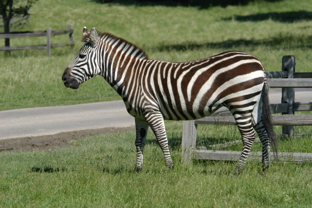 Grants-Farm-Zebra-610x406
